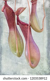isolated nepenthes carnivorous plant on texture background