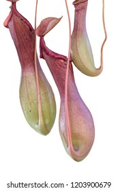 isolated nepenthes carnivorous plant on white background