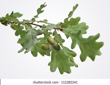 Isolated oak branch with three acorns on the gray back