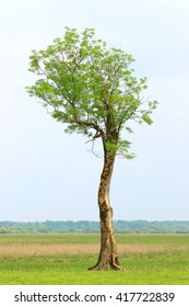 Isolated oak tree in field