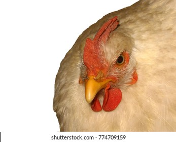 Isolated object on a white background. Chicken close-up