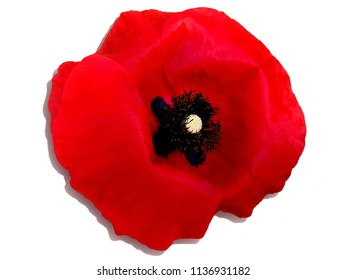 Isolated object - a red poppy flower.