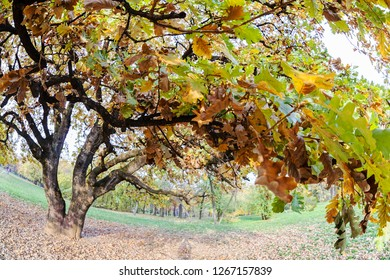 "isolated old oak tree in autumn, shot with ""fish eye"" lense, note shallow depth of field"