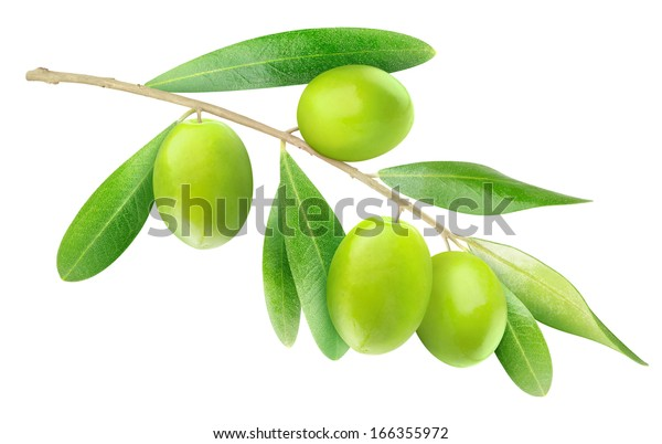 Isolated olive branch. Tree branch with leaves and green fruits isolated on white background