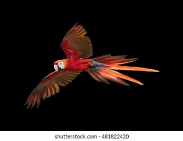 Isolated on black background, Ara macao, Scarlet Macaw, big, red colored, amazonian  parrot in flight, outstretched wings, long red tail. Manu National Park, Peru, Amazon basin.