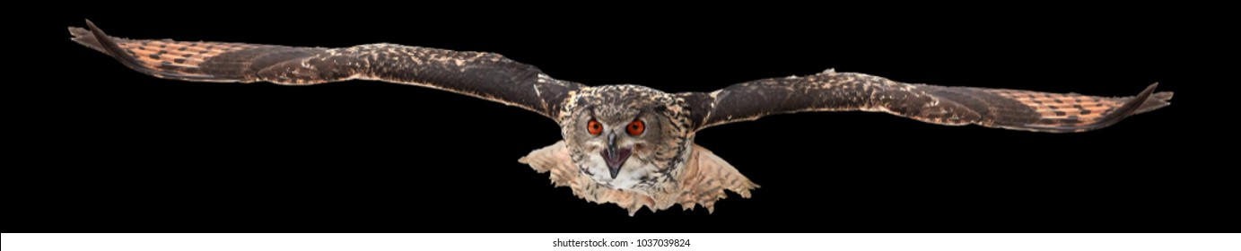 Isolated on black background, Eagle owl, Bubo bubo, biggest european owl flying directly to camera with outstretched wings and opened beak. Eagle-owl isolated on black. Attacking owl.
