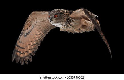 Isolated on black background, Eagle owl, Bubo bubo, biggest european owl with bright orange eyes flying next to camera.