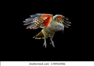 Isolated on black background, flying alpine parrot, Kea, Nestor notabilis, protected  olive-green parrot with scarlet underwings. Bird endemic to South Island, New Zealand.