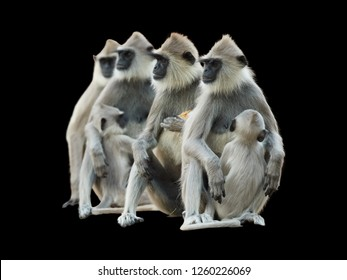 Isolated on black background, group of monkeys, Tufted Gray langur, Semnopithecus priam, all of them staring to the left. Hanuman monkeys with babies. Sri Lanka