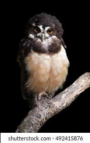 Isolated on black background, large, tropical, colorful owl, Spectacled owl, Pulsatrix perspicillata, perched on branch. Vertical image, close up wildlife photo.  Trinidad and Tobago.