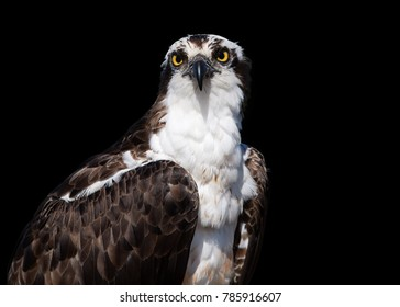 Isolated on black background, portrait of wild Osprey, Pandion haliaetus. Close up wild raptor, staring directly at camera. Bird of prey catching fish. Europe.