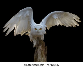 Isolated on black background, Snowy owl, Bubo scandiacus, beautiful white owl with outstretched wings staring directly at camera.