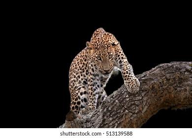 Isolated on black background, Sri Lankan leopard, Panthera pardus kotiya, big cat, predator native to Sri Lanka. Male staring directly at camera in threatening pose.  Wildlife, Yala, Sri Lanka.