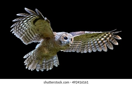 Isolated on black background, Tawny Owl, Strix aluco in first flight.  European small owl, juvenile bird just after leaving the nest. Juvenile plumage, outstretched wings, wildlife photography.