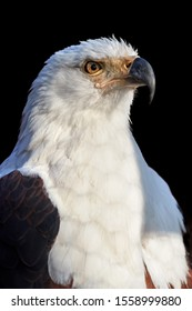 Isolated on black background, vertical portrait of adult African fish eagle, Haliaeetus vocifer. Side view. Eagle eye. Close up african raptor, eagle from Mana Pools, Zimbabwe, Africa.