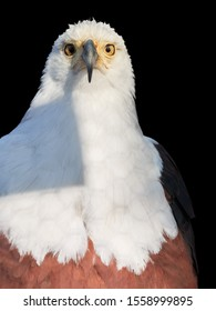 Isolated on black background, vertical portrait of adult African fish eagle, Haliaeetus vocifer. Direct view. Eagle eye. Close up african raptor, eagle from Mana Pools, Zimbabwe, Africa.