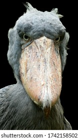 Isolated on black background, vertical portrait of African famous bird, shoe-billed stork, Balaeniceps rex. Detail of a huge beak and gray eyes. Wildlife photography in Murchison Falls, Uganda.