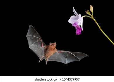 Isolated on black, Orange nectar bat, Lonchophylla robusta,  nocturnal bat  with spread wings, feeding  on nectar from orchidea flower. Bat with fast metabolism. Flash photography workshop.Costa Rica.
