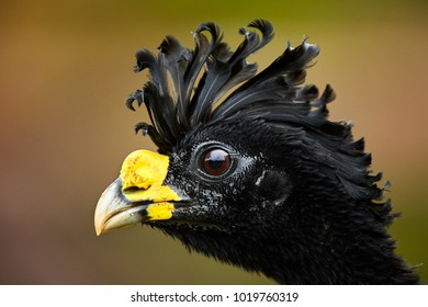 Isolated on blurred background, portrait of pheasant-like bird from rainforest, Great curassow, Crax rubra. Male with erected crest. Boca Tapada rainforest area, Costa Rica, Central America.