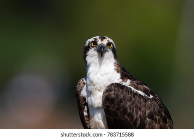 Isolated on blurred background, portrait of wild Osprey, Pandion haliaetus, staring directly at camera. Detail of fish eating bird of prey. Scotland, Europe.