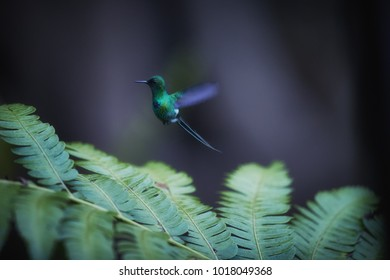 Isolated on dark green background, small hummingbird with long tail, Discosura conversii, Green thorntail, hovering in the air over bracken leaves. Costa Rica.