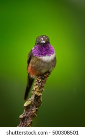 Isolated on green background, small, attractive colibri, Purple-throated Woodstar, Calliphlox mitchellii, hummingbird perched on top of the twig. Showing off its purple throat. Montezuma, Colombia.