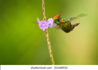 Isolated on green, striking orange crested and glittering green  hummingbird Tufted Coquette Lophornis ornatus, feeding from verbena violet flowers. Arima valley, Trinidad