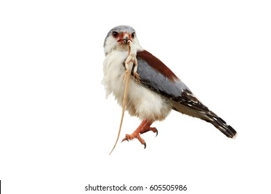 Isolated on white, African pygmy falcon, Polihierax semitorquatus, smallest raptor in Africa, perched on branch with prey. Pygmy falcon, female feeding on agama. Wildlife, Kalahari desert, Botswana.