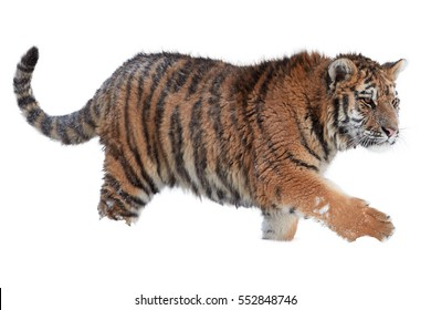Isolated on white background, Amur tiger, Panthera tigris altaica, male walking in deep snow.
