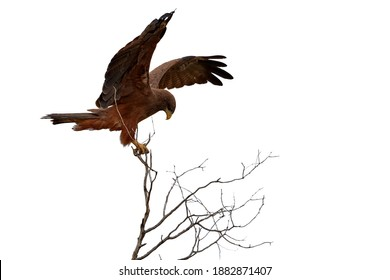 Isolated on white background, Black Kite, Milvus migrans, bird of prey, perched on top of branch with outstretched wings