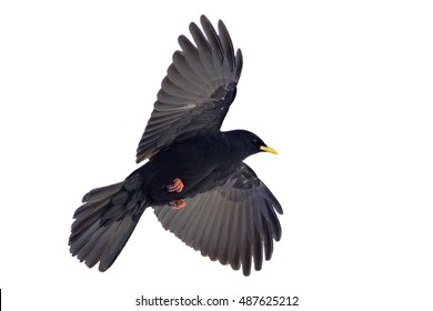 Isolated on white background, black Pyrrhocorax graculus, Alpine Chough. High mountainous bird from crow family, close up bird with outstretched wings.Italy, Passo Rolle, Dolomites.