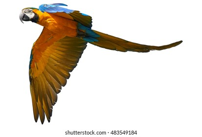 Isolated on white background, Blue-and-yellow macaw, Ara ararauna, vibrant blue and yellow parrot flying.