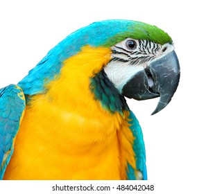Isolated on white background, Blue-and-yellow macaw, Ara ararauna, portrait of colorful big  parrot, close up pet bird.