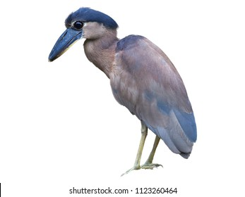 Isolated on white background, Boat-billed heron, Cochlearius cochlearius, nocturnal bird with massive broad scoop-like bill, river Tarcoles, Costa Rica.