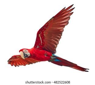 Červený a velký jihoamerický papoušek Ara macao, Scarlet Macaw, létající amazonský pták izolovaný na bílém pozadí.