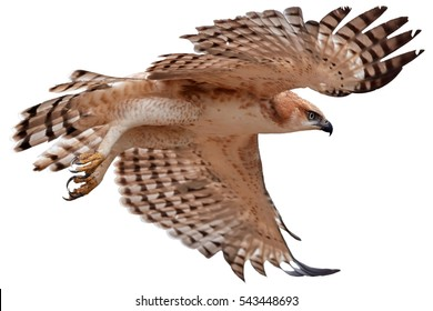 Isolated on white background, Changeable hawk-eagle, Nisaetus cirrhatus, close up, flying eagle in Wilpattu national park, Sri Lanka. Wildlife photography.