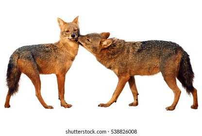Isolated on white background, close up pair of Indian jackals, Canis aureus indicus, male in greeting pose. Wilpattu, Sri Lanka.