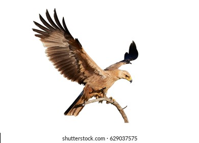 Isolated on white background, close up bird of prey, Tawny eagle, Aquila rapax, large raptor with outstretched wings landing on branch. Wildlife photography, Kalahari desert, Botswana.