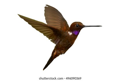 Isolated on white background, colombian brown and violet hummingbird, rare Brown Inca, Coeligena wilsoni, hovering in the air. Montezuma area, Colombia.