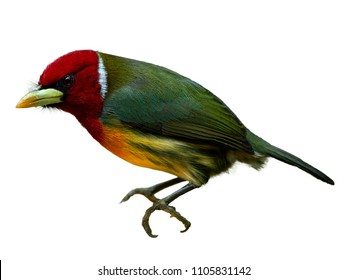 Isolated on white background, colorful tropical bird, Red-headed barbet, Eubucco bourcierii, male with red head and green plumage. Costa Rican wildlife photo.