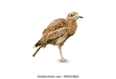 Isolated on white background, Eurasian stone-curlew or  Eurasian thick-knee, Burhinus oedicnemus, close up photo of well camouflaged bird, large wader, summer migrant. Danube delta, Europe.
