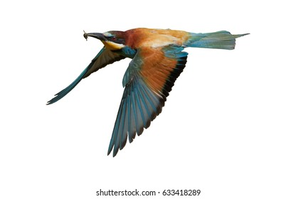 Isolated on white background, European Bee-eater, Merops apiaster, flying multicolored migratory bird with bee prey in beak. South Moravia, Czech republic.