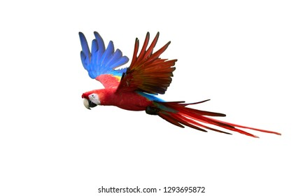 Isolated on white background, flying amazonian parrot, red and blue colored Scarlet Macaw, Ara Macao. Outstretched blue wings and red tail, side view. Wild animal, Brasilia.