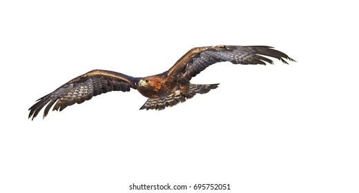Izolované na bílém pozadí, létající Zlatý orel, Aquila chrysaetos, velký dravý pták s nataženými křídly. Pohled zepředu. Orel létá přímo na kameru. Akční fotka.