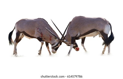 Isolated on white background, Gemsbok, Oryx gazella, two  males fighting for dominance. Heavy fight with bloody traces on their body. Kgalagadi reserve, Kalahari, South Africa.
