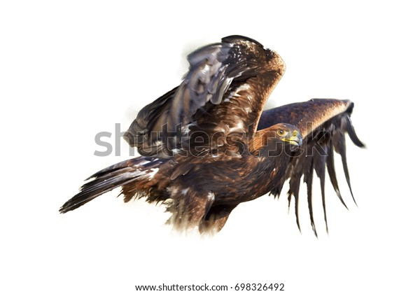 Isolated on white background, Golden Eagle, Aquila chrysaetos, big bird of prey in winter, standing on snowy meadow with outstretched wings, partly blurred by motion. Artistic photo.
