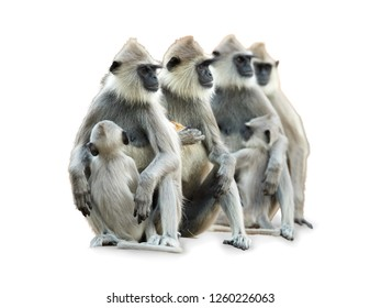 Isolated on white background, group of monkeys, Tufted Gray langur, Semnopithecus priam, all of them staring to the right.  Hanuman monkeys with babies. Sri Lanka