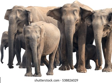 Isolated on white background, herd of wild Sri Lankan elephant, Elephas maximus maximus  staring directly at camera. Yala National park, Sri Lanka.