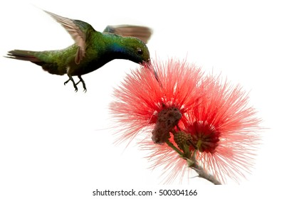 Isolated on white background, iridescent caribbean hummingbird, Black-throated Mango, Anthracothorax nigricollis, feeding on nectar from red mimosa flower, Calliandra haematocephala,Trinidad & Tobago.