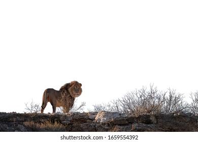 Isolated on white background, Kalahari lion, Panthera leo vernayi,  standing on the ridge of Nossob valley, staring at camera. Lion  with black mane in Kalahari desert. Traveling Kgalagadi, Botswana.